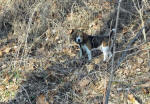 T-Bone AKC beagle